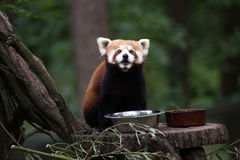Western red panda Ailurus fulgens fulgens Stock Image