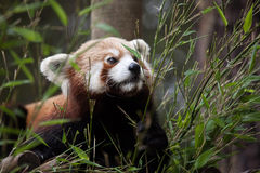 Western red panda Ailurus fulgens fulgens. Also known as the Nepalese red panda Stock Photo