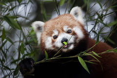 Western red panda Ailurus fulgens fulgens. Also known as the Nepalese red panda Stock Photos
