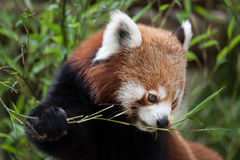 Western red panda Ailurus fulgens fulgens. Also known as the Nepalese red panda Royalty Free Stock Photos