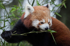 Western red panda Ailurus fulgens fulgens. Also known as the Nepalese red panda Stock Photography