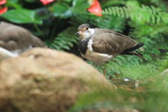 Western red-wattled lapwing Royalty Free Stock Photo