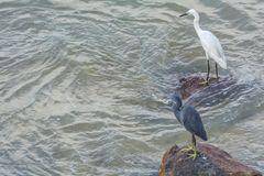 Western reef egret and Little Egret stock images