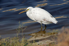 Western Reef Heron Royalty Free Stock Photos
