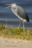Western Reef Heron Royalty Free Stock Images