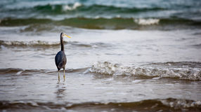 Western Reef Heron Stock Photography