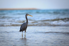 Western Reef Heron Royalty Free Stock Photography