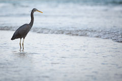 Western Reef Heron Stock Images