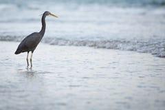Western Reef Heron Stock Images