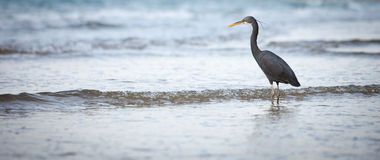 Western Reef Heron Royalty Free Stock Photo