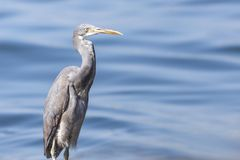 The western reef heron also called the western reef egret, is a medium-sized heron found in southern Europe, Africa and parts of A. Sia stock photos