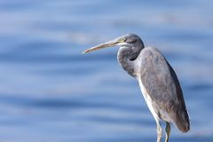 The western reef heron also called the western reef egret, is a medium-sized heron found in southern Europe, Africa and parts of A. Sia royalty free stock photography