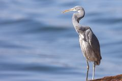 The western reef heron also called the western reef egret, is a medium-sized heron found in southern Europe, Africa and parts of A. Sia stock photography