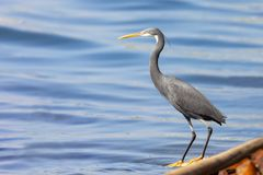 The western reef heron also called the western reef egret, is a medium-sized heron found in southern Europe, Africa and parts of A. Sia stock photo