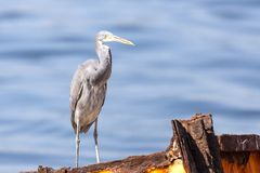 The western reef heron also called the western reef egret, is a medium-sized heron found in southern Europe, Africa and parts of A. Sia stock image