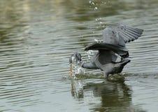 Western reef heron fishing with splash of water Stock Image