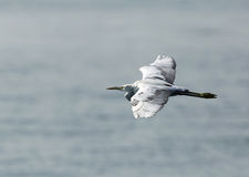 Western reef heron in flight Royalty Free Stock Image