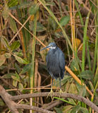 Western Reef Heron at Kotu Royalty Free Stock Images