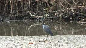 Western Reef Heron in the mangrove swamp in The Gambia Stock Photography
