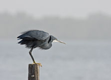 Western Reef Heron ready to fly Stock Photography