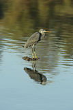 Western reef heron and reflection Royalty Free Stock Photography