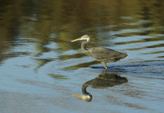 Western reef heron and reflection Royalty Free Stock Photo