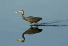 Western reef heron and reflection Royalty Free Stock Images