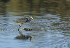 Western reef heron and reflection Stock Image