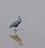 Western Reef Heron riverside Royalty Free Stock Image