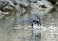 Western reef heron skimming water to catch fish Royalty Free Stock Photography