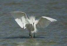 Western reef heron white morphed fishing Royalty Free Stock Photos