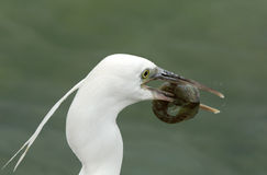 Western reef heron white morphed with a fishing Royalty Free Stock Photos