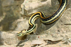Western Ribbon Snake (Thamnophis proximus) Royalty Free Stock Photos