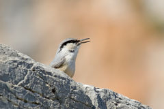 Western Rock Nuthatch Royalty Free Stock Image