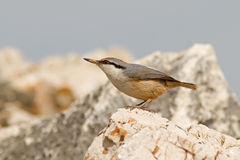 Western Rock Nuthatch Royalty Free Stock Photo