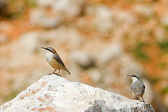 Western Rock Nuthatches Stock Photo
