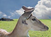 Western Roe Deer Capreolus capreolus Stock Photos
