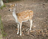Western roe deer Royalty Free Stock Images