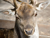Western roe deer Royalty Free Stock Photography