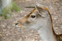 Western roe deer Royalty Free Stock Photo