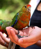Western Rosella. Wild western rosellas is handfed sunflower seeds stock photography