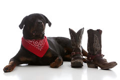 Western Rottie Royalty Free Stock Photography