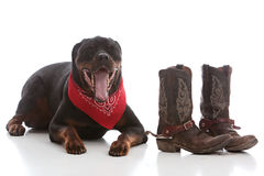 Western Rottie Royalty Free Stock Image