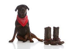 Western Rottie Royalty Free Stock Photos