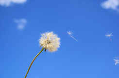 Western Salsify Royalty Free Stock Photography
