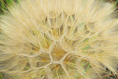 Western Salsify Royalty Free Stock Images