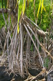 Western Samoa - tree roots. Aerial roots from a pandanus/cabbage tree in Western Samoa stock images