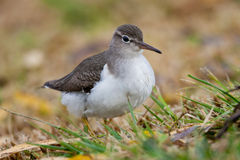 Western Sandpiper. Adult Male Western Sandpiper in Winter Plumage Foraging on Grassy Shore Stock Photo