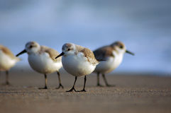 Western Sandpiper Royalty Free Stock Photo