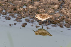 Western sandpiper bird Royalty Free Stock Image